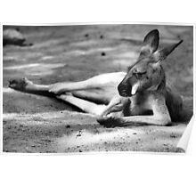 Sleeping Kangaroo Black and White Poster