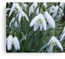 A group of flowering snowdrops Canvas Print
