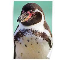 Humboldt Penguin Poster