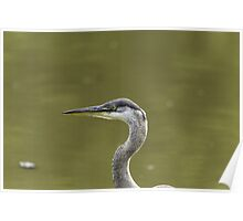 Profile of a Great Blue Heron Poster