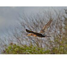 Cormorant on Wings Photographic Print