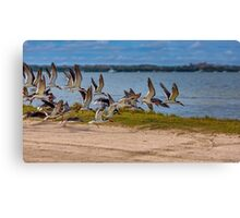 Black Skimmers Coming In For A Landing Canvas Print