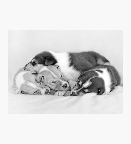 Sleeping Smooth collie puppies  Photographic Print