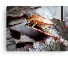 Shield Bug On Amethyst Myst Heuchera Metal Print
