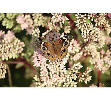 Buckeye Butterfly Macro Photographic Print