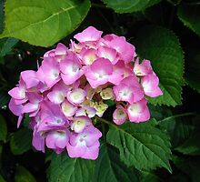 Late Pink Hydrangea Blossom  by kathrynsgallery