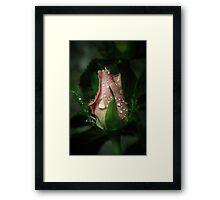 A little rose bud Framed Print