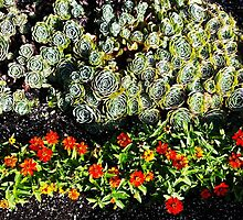 Hens and Chicks with Cosmos by Mary Ellen Tuite Photography