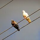 island pigeons on the look-out by globeboater