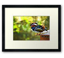 Mandarin Duck. Beautiful male duck Framed Print