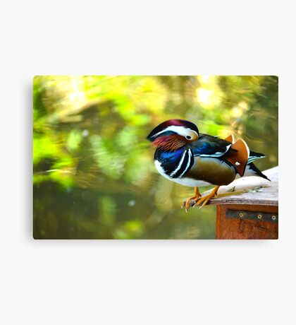Mandarin Duck. Beautiful male duck Canvas Print