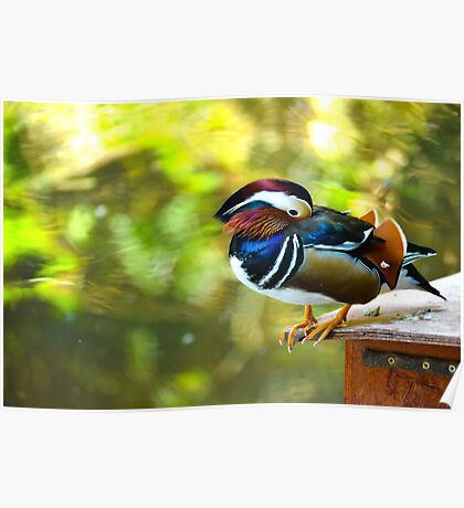 Mandarin Duck. Beautiful male duck Poster