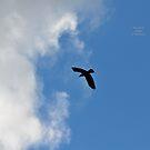 """"""" Jackdaw In Flight """" by Richard Couchman"""