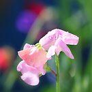 """ Sweet Pea Rainbow "" by Richard Couchman"