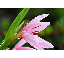 """ Pink Lily Rain "" Photographic Print"