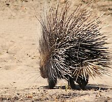 Porcupine and its Quills - African Wildlife by LivingWild
