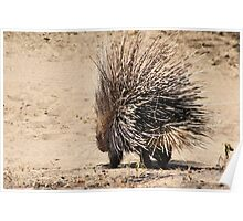 Porcupine and its Quills - African Wildlife Poster