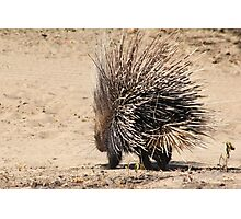 Porcupine and its Quills - African Wildlife Photographic Print