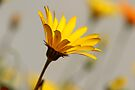 Dainty Daisy by Antionette