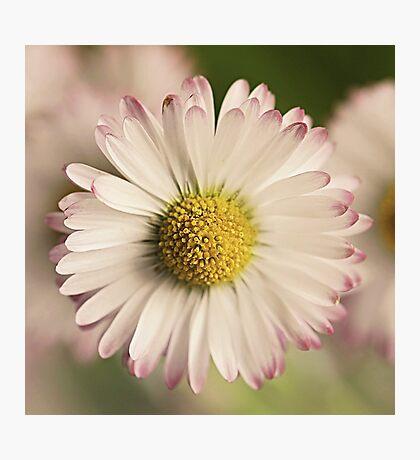 Flowers - daisy Photographic Print