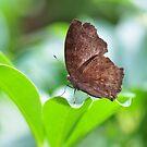 Leaf-wing butterfly  by Poete100