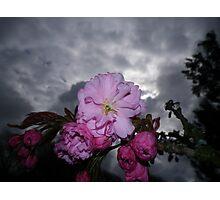 CHERRY BLOSSOM MACRO AGAINST STORMY SPRING SKY Photographic Print