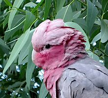 Galah Cockatoo and Eucalyptus Tree by Erika Kaisersot