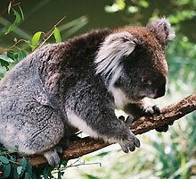 Koala, Victoria, Australia by justinmacintosh
