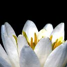 Water Lilly Petals by AngieDavies