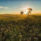 Canola Sunrise by yolanda
