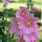 Hollyhock Beauty by AbigailJoy