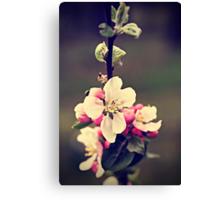 Apple flowers Canvas Print