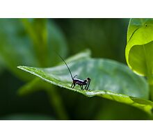 Small black cricket on leaf Photographic Print