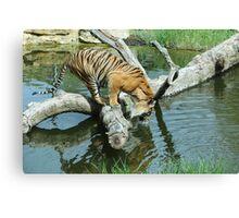 Tiger thirsty Canvas Print