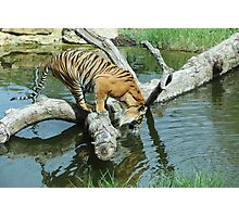 Tiger thirsty Photographic Print