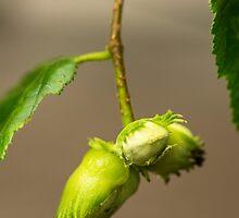 Hanging Hazel Nuts by Nick Jenkins