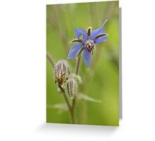 Borage Wildflower - Borage officinalis - Annual Herb Greeting Card