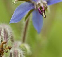 Borage Wildflower - Borage officinalis - Annual Herb Sticker
