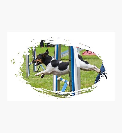 Jack Russel Terrier doing agility Photographic Print
