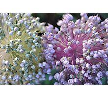Green & Pink Leek Puffs Photographic Print