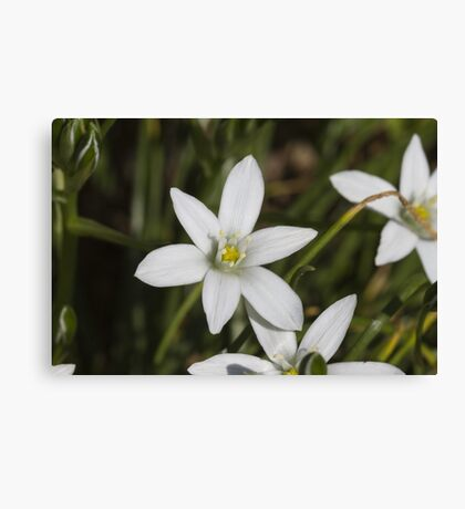 white flowers in spring Canvas Print