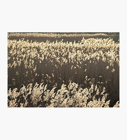 Norfolk Reeds Photographic Print