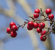 red berries by spetenfia