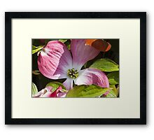 blooming magnolia flowers in spring Framed Print