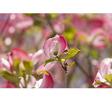 blooming magnolia flowers in spring Photographic Print