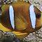 (Sea Life Category) - Family - Pomacentridae - Clown & Damsel Fish