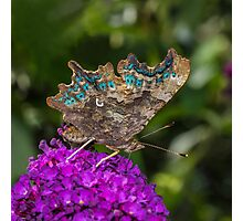Comma Butterfly Photographic Print