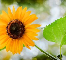 Shinny  Sunflower by LudaNayvelt