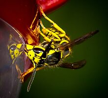 Yellowjacket by RandyHume