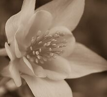 Old columbine by Morag Anderson